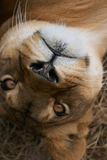 Portrait of Lioness Royalty Free Stock Image