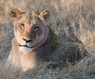 Portrait of lioness Stock Images