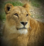 Portrait of a lioness. With beautiful eyes in safari park royalty free stock photos