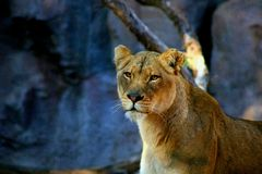 Portrait of a lioness Stock Image