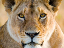 Portrait of a lioness. Close-up. Kenya. Tanzania. Maasai Mara. Serengeti. Stock Images