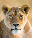Portrait of a lioness. Close-up. Kenya. Tanzania. Maasai Mara. Serengeti. Stock Photos