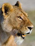 Portrait of a lioness. Close-up. Kenya. Tanzania. Maasai Mara. Serengeti. Royalty Free Stock Photography