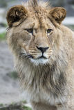 Portrait of a lioness. Closeup portrait of a single lioness Royalty Free Stock Images