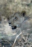 Portrait of a lioness, Gorongosa National Park, Mozambique Stock Photo