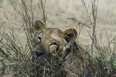Portrait of a lioness, Gorongosa National Park, Mozambique Stock Image