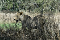 Portrait of a lioness, Gorongosa National Park, Mozambique Royalty Free Stock Photography