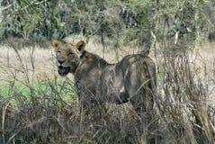 Portrait of a lioness, Gorongosa National Park, Mozambique Stock Images