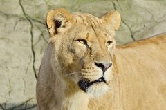 Portrait of Lioness Stock Photos