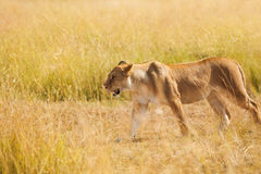 Portrait of lioness hunting in the nature habitat Stock Photos