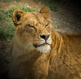 Portrait of a lioness. Portrait of a liness with narrowed eyes in safari park royalty free stock photo
