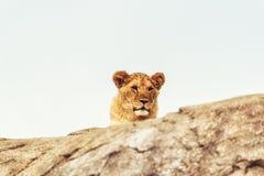 Lioness Portrait Royalty Free Stock Photo