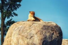Lioness Portrait Stock Photos