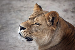 Portrait of a lioness Royalty Free Stock Photo
