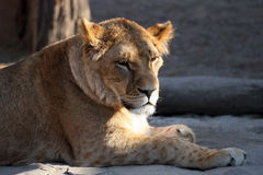 Portrait of a lioness looking to the side Stock Images