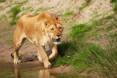 Portrait of a lioness near the water Royalty Free Stock Images
