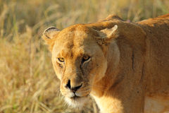 Portrait of a lioness Stock Photos