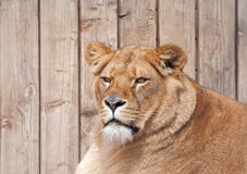 Portrait of a lioness Royalty Free Stock Photos