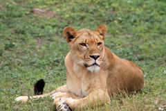 Portrait lioness poses. Lying on grass at local zoo Royalty Free Stock Image