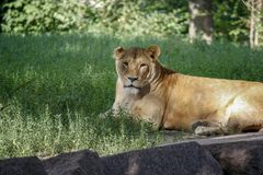 Portrait of a lioness resting on the grass at the zoo in Kiev. Portrait of a lioness resting on the grass in a zoo in Kiev. Close-up stock images