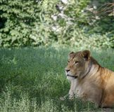 Portrait of a lioness resting on the grass at the zoo in Kiev. Portrait of a lioness resting on the grass in a zoo in Kiev. Close-up royalty free stock image