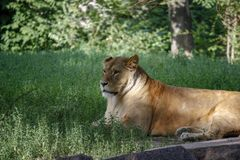 Portrait of a lioness resting on the grass at the zoo in Kiev. Portrait of a lioness resting on the grass in a zoo in Kiev. Close-up stock photo