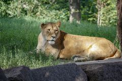 Portrait of a lioness resting on the grass at the zoo in Kiev royalty free stock photography