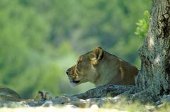 Portrait of a lioness`s muzzle in profile. Lioness resting in the shade of a tree. Predator. Muzzle of a lioness. Portrait of a lion Royalty Free Stock Photos