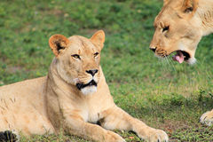 Portrait lioness tongue curling. Portrait lionesses one lying on grass other's tongue curls at local zoo Royalty Free Stock Image