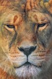 Portrait of a lioness. Royalty Free Stock Photo