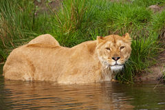 Portrait of a lioness in the water Stock Image
