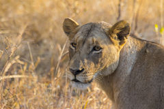Portrait of a lioness in the wild 2 Royalty Free Stock Image