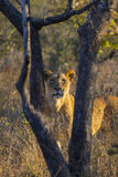 Portrait of a lioness in the wild 4 Royalty Free Stock Images