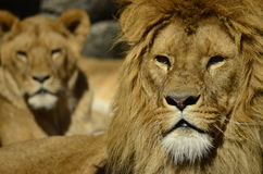 Portrait of a lions. In the sun Stock Photo