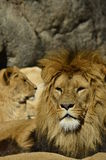 Portrait of a lions. In the sun Royalty Free Stock Photography
