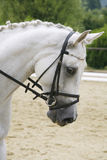 Portrait of a lipizzaner dressage horse on natural background Royalty Free Stock Images