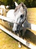 Portrait of Lipizzaner stallion Stock Image