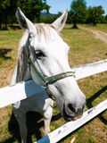 Portrait of Lipizzaner stallion Royalty Free Stock Photos