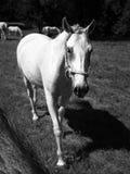 Portrait of Lipizzaner stallion Royalty Free Stock Images