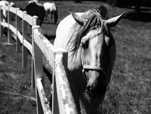 Portrait of Lipizzaner stallion Stock Images