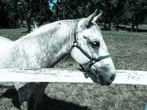 Portrait of Lipizzaner stallion Royalty Free Stock Image