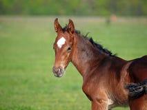 Portrait of little bay foal Royalty Free Stock Photo