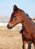 Portrait of little bay foal Stock Photos