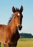 Portrait of little bay foal Royalty Free Stock Images
