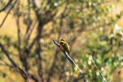 Portrait of little bee-eater on the branch. Masai Mara, Kenya. Africa Royalty Free Stock Photography