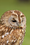 Portrait of a little brown owl Royalty Free Stock Image