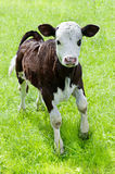Portrait of little calf on meadow Royalty Free Stock Image