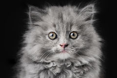Portrait of little cat isolated on black background Stock Image