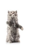 Portrait of a little cat or kitten isolated Royalty Free Stock Photos
