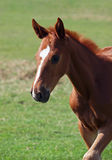 Portrait of little chestnut   foal Stock Photography